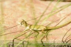 Chameleon Babies Stock Photo