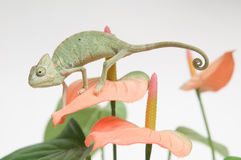 Chameleon baby Stock Photos