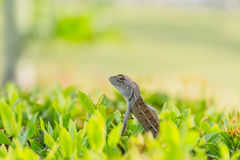 Chameleon baby on the branch Royalty Free Stock Photo