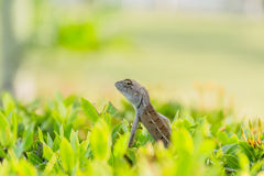 Chameleon baby on the branch Royalty Free Stock Image