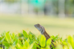 Chameleon baby on the branch Royalty Free Stock Images