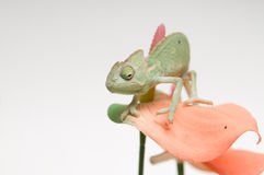 Chameleon baby on pink flower Stock Photos