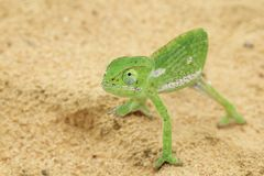 Chameleon Background - Africa - Funny Magician Royalty Free Stock Image