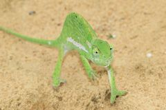 Chameleon Background - Africa - Green Magician Stock Photos