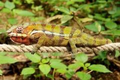 Chameleon - balançando em uma corda Fotos de Stock
