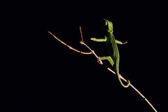 Chameleon balancing on a stick in darkness in selective lighting Stock Photography