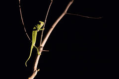 Chameleon balancing on a stick in darkness in selective lighting Royalty Free Stock Photography