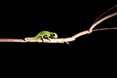 Chameleon balancing on a stick in darkness in selective lighting Royalty Free Stock Photo