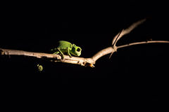 Chameleon balancing on a stick in darkness in selective lighting Stock Image