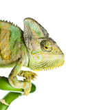 Chameleon on  bamboo Royalty Free Stock Photography