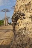 Chameleon on the baobab  tree Stock Image