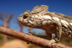 Chameleon and baobabs Royalty Free Stock Photos