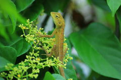 Chameleon basking Royalty Free Stock Images
