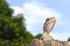 Chameleon. Are be conceited behind the sky Royalty Free Stock Images