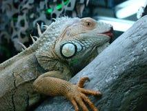 Chameleon. Beautiful Big Chameleon at Dubai Stock Images