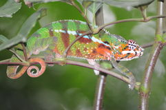 Chameleon. Beautiful chameleon (cameleon) climbing on a branch of a tree, changing color Royalty Free Stock Photography