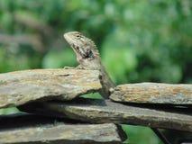 Chameleon. Behind rock Stock Image