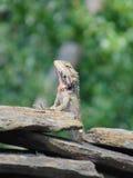 Chameleon. Behind rock Royalty Free Stock Image