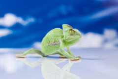 Chameleon on the blue sky, bright vivid exotic climate.  Royalty Free Stock Photo