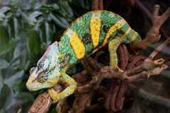 Chameleon. Royalty Free Stock Photo