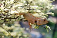 The chameleon on the branch Royalty Free Stock Photography