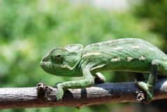 Chameleon on branch. Chameleon (Chamaeleonidae) climbing on the branch Stock Photo
