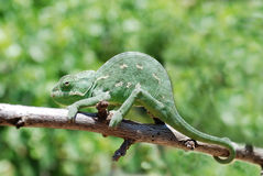 Chameleon on branch. Chameleon (Chamaeleonidae) climbing on the branch Royalty Free Stock Photo