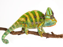 Chameleon on a branch. A Chameleon gripping on to a branch Royalty Free Stock Photos