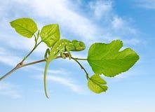 Chameleon on branch Stock Images