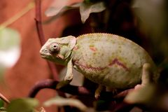 A Chameleon On a Branch Stock Photography