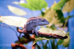 The chameleon on the branch. Chakra scientific name: Chamaeleonidae, English: chameleon Commonly known as the chameleon, the lizard Suborder Sauria Royalty Free Stock Images