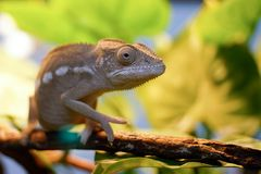 The chameleon on the branch. Chakra scientific name: Chamaeleonidae, English: chameleon Commonly known as the chameleon, the lizard Suborder Sauria Royalty Free Stock Photography