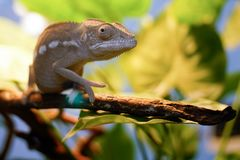 The chameleon on the branch. Chakra scientific name: Chamaeleonidae, English: chameleon Commonly known as the chameleon, the lizard Suborder Sauria Stock Photo