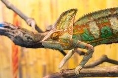 Chameleon on branch chameleon on branch stock image