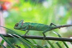 Chameleon on branch, chameleon, reptile. Chameleon on branch, chameleon, lizard stock photos