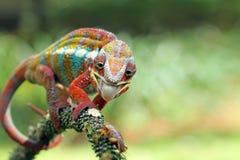 Chameleon on branch, chameleon, reptile. Chameleon cacthing insect, chameleon on branch stock photos