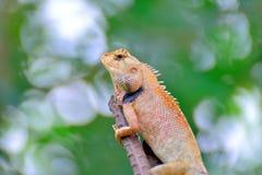 Chameleon. Royalty Free Stock Photos