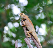 Chameleon. Royalty Free Stock Photo