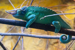 Chameleon on the branch Stock Images