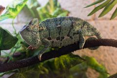 Chameleon on a branch in the terrarium royalty free stock photography