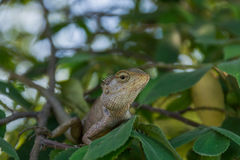 Chameleon on the branch Royalty Free Stock Image