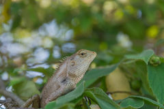 Chameleon on the branch Royalty Free Stock Photos