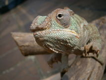 Chameleon on a branch. View of a chameleon on a branch Royalty Free Stock Images