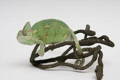 Chameleon on branch. View from left side Royalty Free Stock Images