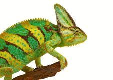 Chameleon. On a branch on a white background Stock Photography