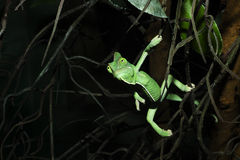 A Chameleon In the branches Royalty Free Stock Images
