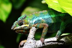 Chameleon on Brown Tree Branch in Close Up Photo Royalty Free Stock Photo