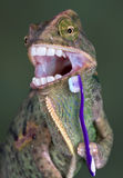 Chameleon brushing teeth royalty free stock image