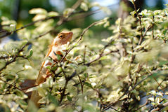 The chameleon in the bush. The chameleon climb up from the bush Royalty Free Stock Images
