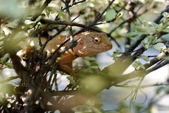 The chameleon in the bush Royalty Free Stock Photos